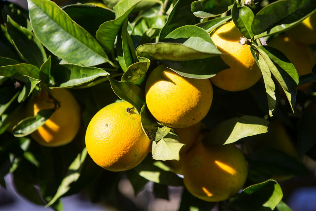 naranjas en arbol