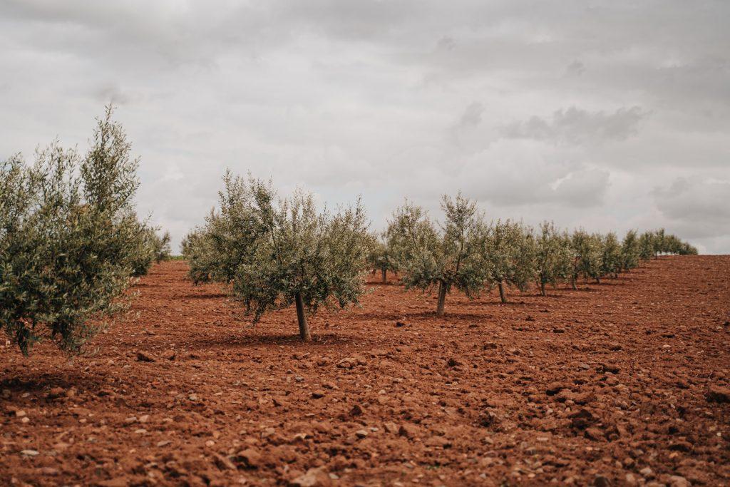 Disminución de la producción de aceite de oliva. Campo con olivos