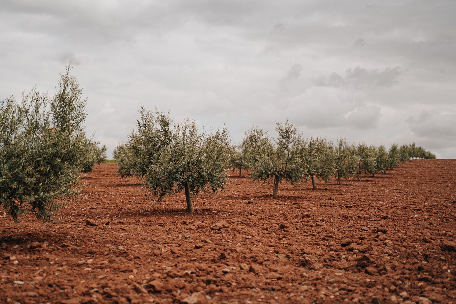 UPA Granada estima un 25% menos de producción de aceite de oliva que la pasada campaña