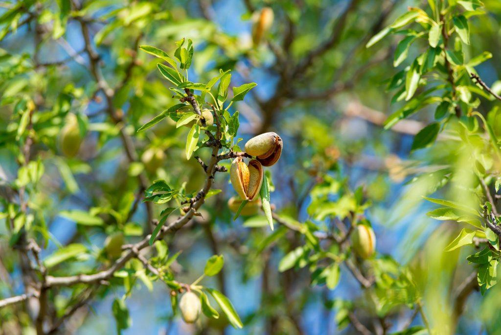 Almendras abiertas en el árbol